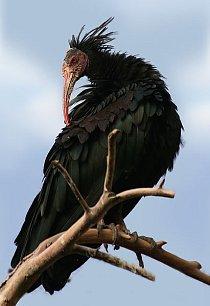Ibis skalní (Geronticus eremita) dříve obýval Střední východ, sever Afriky a jih Evropy, podle fosilií zde navíc žil již před 1,8 miliony lety. Z Evropy byl zcela vyhuben zhruba před 300 lety. Dnes ži