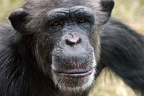 Tvář šimpanze zblízka