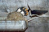Vlaštovky nalétají při stavění hnízda spousty kilmetrů a což teprve později, když se jim narodí mladí...