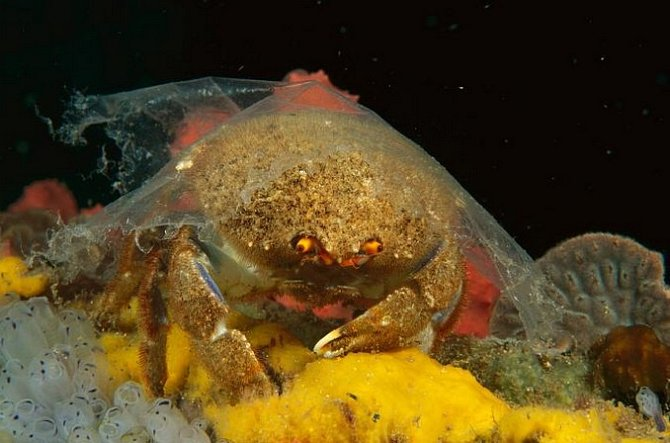 Krab houbový poblíž australského Edithburgu má na sobě kus průhledného plastu. Krabi houboví si na krunýř kladou houby, aby se maskovali před predátory. Tento kryt zumělé hmoty není dostatečnou ochranou.