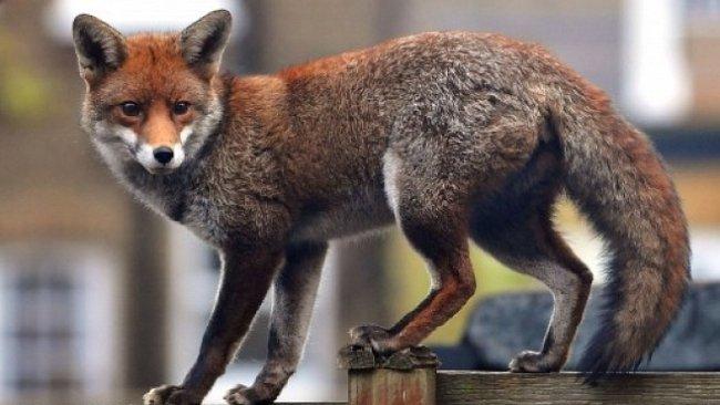 Za liškami nechoďte do lesa. Spíš je uvidíte v Londýně nebo Berlíně