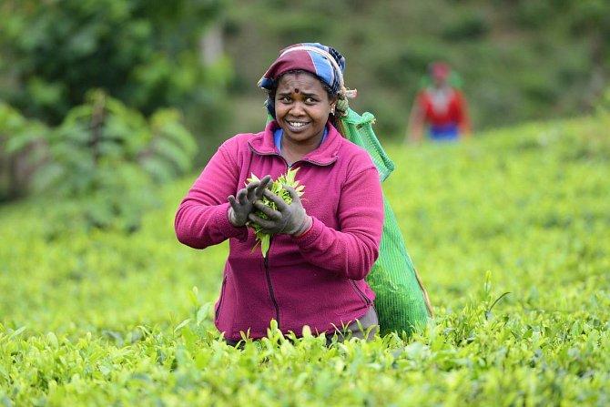 Pěstování čaje je na ostrově tradicí, o čemž svědčí velké množství plantáží.