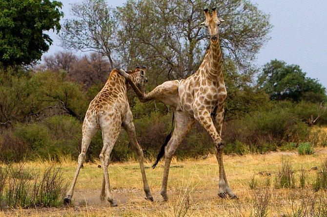 Žirafy se mohou pářit po celý rok, protože samice jsou plodné každé dva týdny. Ke střetům mezi samci tak dochází v přírodě velmi často.