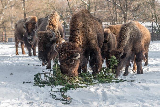 Ani silný mráz nezabránil bizonům, aby si pochutnali na větvích zvánočního smrku ze Staroměstského náměstí.