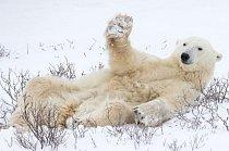 Zdravím vás, kluci. Lední medvěd zvedá tlapu jako při přátelském pozdravu.