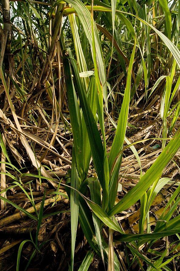 Takto vypadá cukrová třtina na polích.