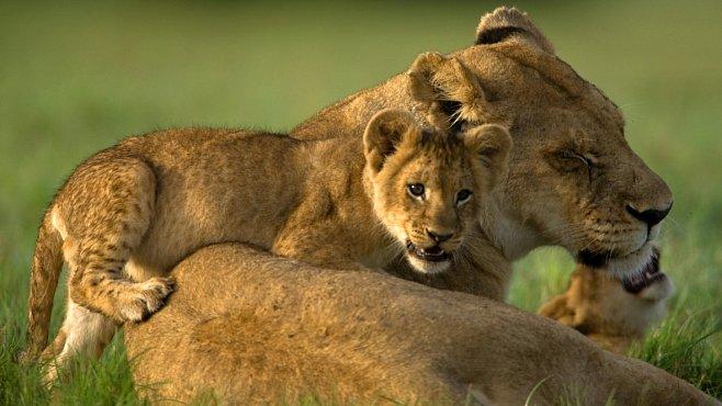 Těšte se! Týden s velkými kočkami na National Geographic Channel