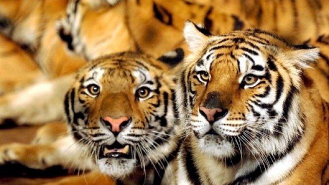 Proč mají tygři pruhy? To objevil před 60 roky otec informatiky