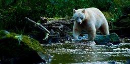 Jeden z nejvzácnějších druhů medvěda žije v Great Bear Rainforest v Kanadě. Není ani albínem, ani druhem ledního medvěda, ale je to poddruh jindy černého medvěda baribala. Bílý kožich má na svědomí je