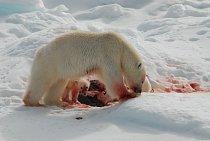 Lední medvědi žijí většinou samotářsky. Po většinu dne hledají potravu, za kterou jsou schopni putovat i několik desítek kilometrů denně. Živí se převážně lovem a jejich nejčastější kořistí bývají tul