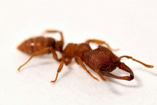 Mravenec Dracula se vyskytuje v Austrálii a jihovýchodní Asii.