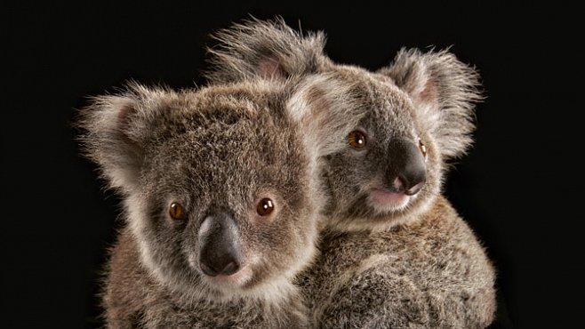 Exkluzivně pro National Geographic: Koalové jsou ohroženi. Dokáže je Austrálie zachránit?