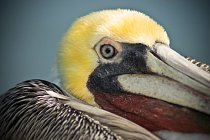 Pelikán hnědý (Pelecanus occidentalis). Opeření na těle má docela nenápadné  - šedé, na zadní straně krku a zátylku tmavě hnědé, na hlavě a přední straně krku bílé nebo žlutavé a na obličeji a hrdelní