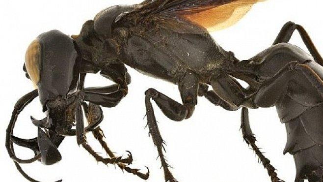 Král vos s obřími kusadly měří až šest centimetrů