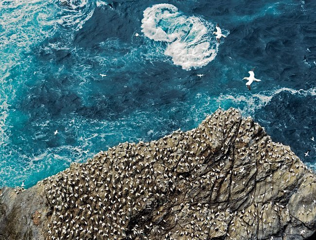 V Národní přírodní rezervaci Hermaness na skotských Shetlandách se dospělí terejové vznášejí nad pobřežním příbojem. Tito mořští ptáci jsou prostě stavění pro život ve studených bouřlivých vodách.