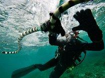 Zoltán Takácz uchopil poblíž ostrova Fidži vlnožila užovkového. Jeho jed vyvolává ochrnutí svalstva, a tak mu neunikne ani silný a rychlý mořský úhoř.