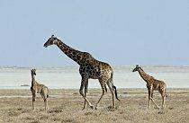 Obecně je uznáváno 9 poddruhů žiraf, odlišují se především barvou, vzorem a místem původu.