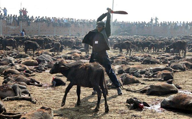 Tisíce kusů zvířat obětují poblíž chrámu věřící z Nepálu na počest hinduistické bohyni síly Gadhimai. Navzdory snahám o ukončení krveprolití se slavnost opakuje jednou za pět let.