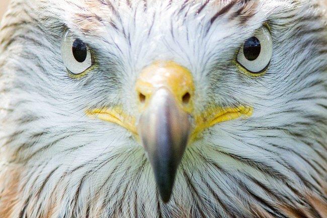 Jestřáb Cooperův - jeho zrak se umí přizpůsobit, takže se při lovu dokáže i ve vysoké rychlosti bezpečně vyhýbat větvím nebo jiným překážkám.