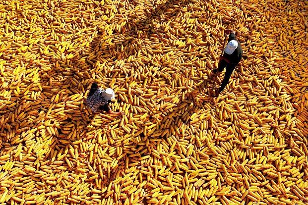 FOTOGALERIE: Vrchol sklizně v čínské provincii Šan-Tung