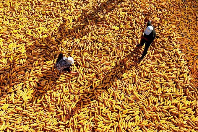 Nejdříve je potřeba kukuřici vyloupat a poté se semena budou sušit, aby mohla být uskladněna.