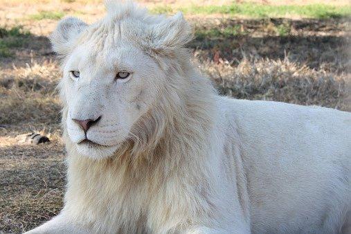 Bílí lvi nejsou albíni, jak bychom čekali, ale unikátem, genetickou raritou vztahující se kjediné endemické oblasti na zeměkouli – africké Timbavati.