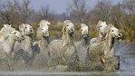 Krása bílých koní francouzského venkova: volně tam žijí už od doby kamenné