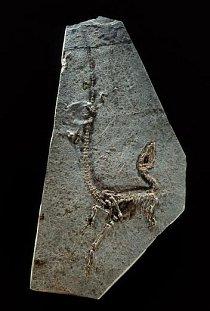 Sinosauropteryx prima byl nalezen roku 1996 v severovýchodní čínské provincii Liao-ning a je považován za prvního známého opeřeného dinosaura. Objev jemného opeření – je vidět jako tmavé chmýří kolem kostry – otřásl základy paleontologie.