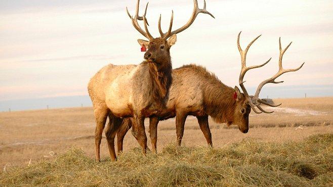 Nejvražednější zvíře Ameriky je jelen. Zabije ročně stokrát víc lidí než žralok