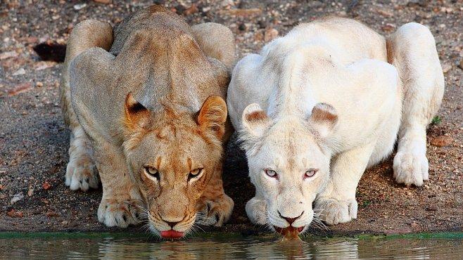 Bílí lvi jsou neobvyklou hříčkou přírody. Jak přežívají, když je zářivá barva vždycky prozradí?
