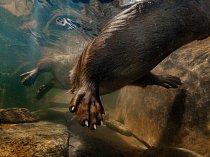 Vydry mají mohutné nohy s plovací blánou a tvar těla přizpůsobený pohybu pod vodou, ani jedno by však nemohly využívat bez své výjimečně teplé husté srsti.