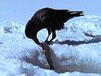 Mazaná vrána řídí dopravu a válí sudy