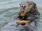 Mořské vydry se učí rozpoznat plechovku od korýše