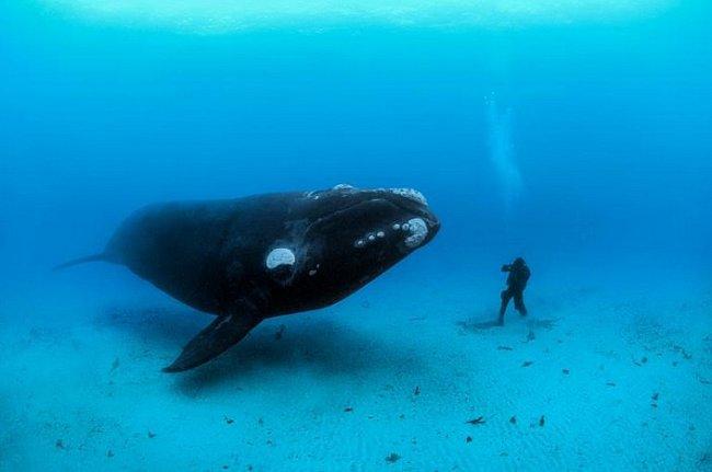 Velryba jižní se na písčitém mořském dně u novozélandských Aucklandských ostrovů setkává s potápěčem. V dospělosti může být dlouhá 18 metrů a vážit až 60 tun.