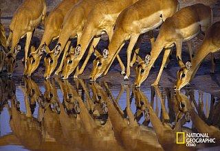 Antilopy hasí žázeň