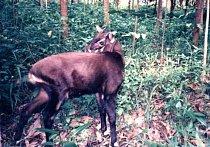 Soala (Pseudoryx nghetinhensis) je docela neznámý sudokopytník žije v jihovýchodní Asii.
