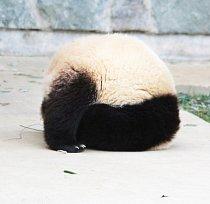 Pěkný kousek předvedla čtyři a půl roku stará panda jménem Tai Shan.
