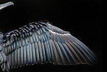 V kategorii zaměření na detail byl oceněn snímek roztaženého křídla kormorána velkého z londýnského Hyde Parku.