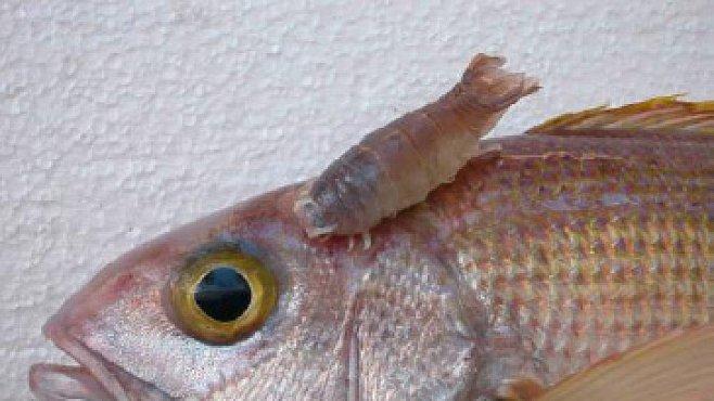 Parazitů je desetkrát víc než jejich rybích hostitelů