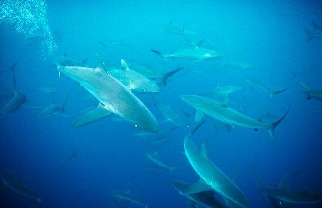 Galapágy, Ekvádor: Žralok měděný