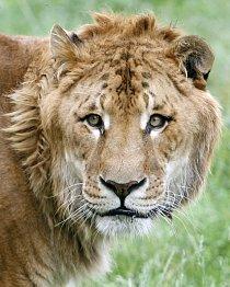 Kříženec tygra a lva žije v soukromé zoo při Baltském pobřeží.