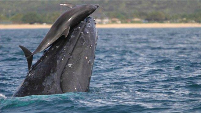 Pozvednutý delfín. Svezení na velrybě je evoluční výhoda i skvělá hra