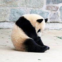 Pandy velké jsou velmi vzácné. Na  světě žije pouhých 1000 pand velkých.