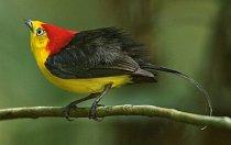 Exkluzivně pro National Geographic: Poslechněte si ptáka virtuosa, který hraje na ocásek
