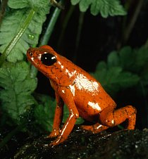 Jedovatá žába pralesnička azurová je připravena bránit své teritorium.