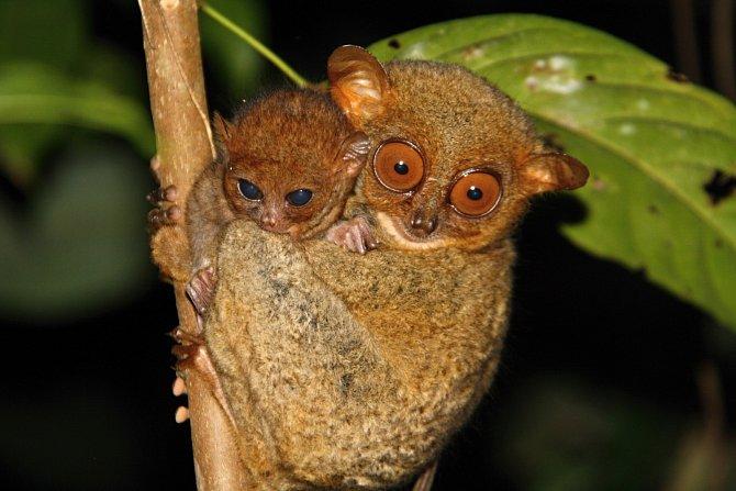 Nártoun je momentálně na seznamu 25 nejohroženějších primátů světa.