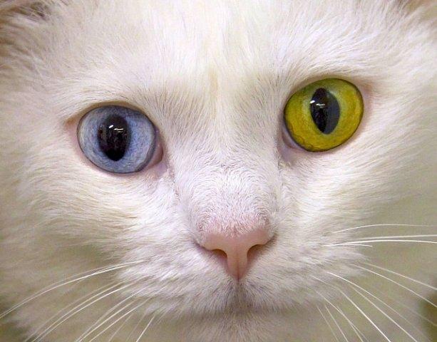 Nestejně zbarvené oči