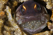 Ryby (yellowbarred jawfish), Filipíny.