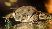Vodnice posvátná (Telmatobius culeus) je sladkovodní druh žáby.