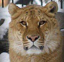 Lyra žije v Jekatěrinburgu a dostává speciální trénink.